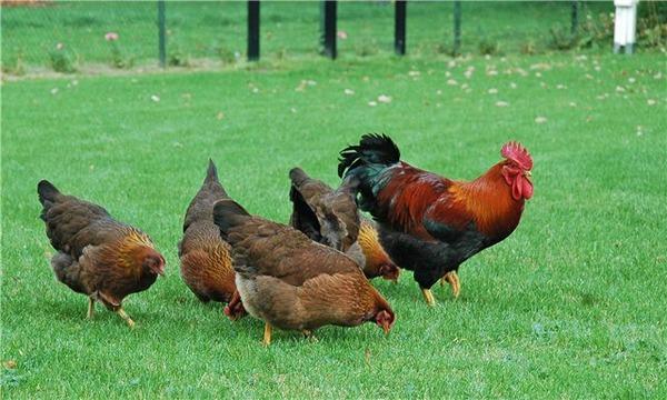 Polli in fuga