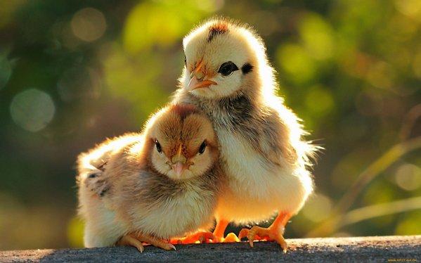 crescere polli a casa