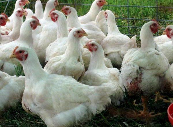 polli broiler