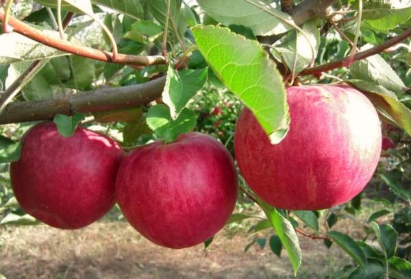 Varietà di melo Gloria ai vincitori: caratteristiche descrittive