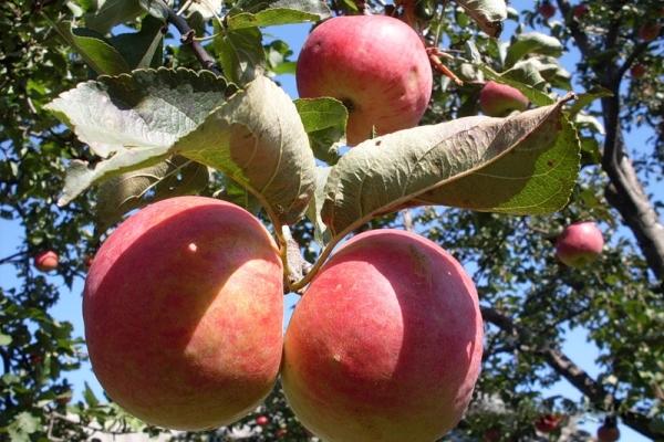 Varietà di mele Zhigulevskoe: caratteristiche descrittive, storia delle selezioni