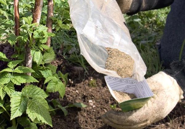 Nei pozzi prima di piantare i lamponi mettere azoto e fertilizzanti minerali