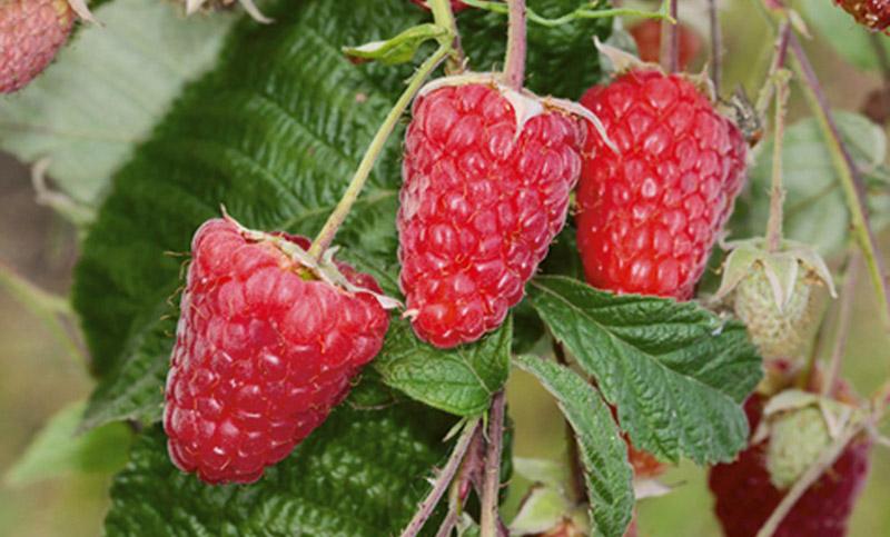Raspberry Atlant