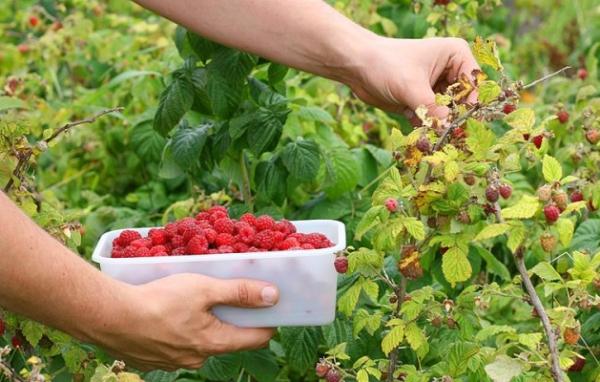 La varietà di lamponi Maroseyka produce frutta ogni anno.