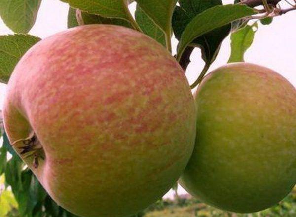 La varietà di meli Candy: caratteristiche descrittive, regole di impianto e cura
