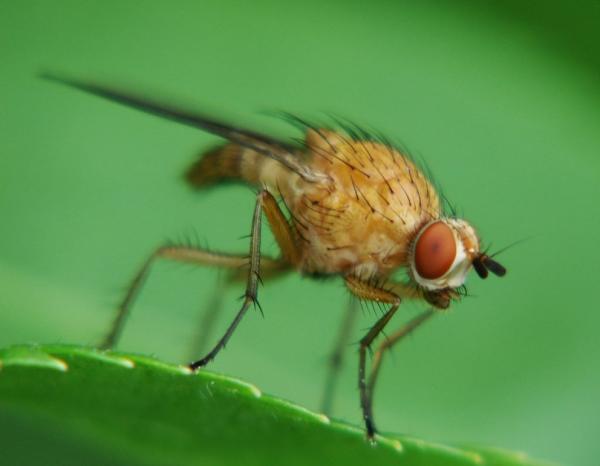 La mosca del lampone del gambo distrugge le piante