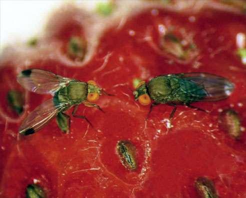 Stelo di mosca lampone