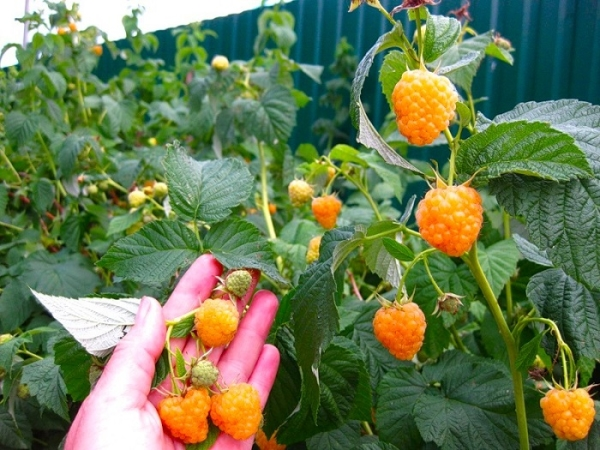 Raspberry Yellow Giant - varietà senza pretese