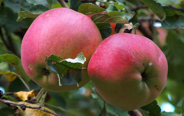 Porto delle mele