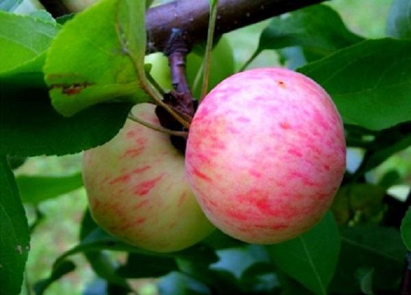 Pera di mele