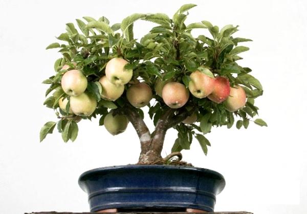 Come far crescere un melo dai semi a casa: istruzioni