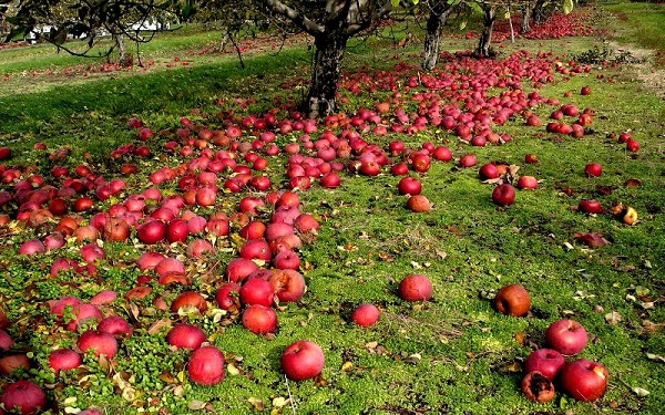 Cause di caduta delle mele