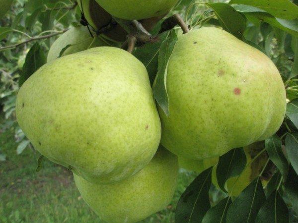 Varietà di pere Taiga