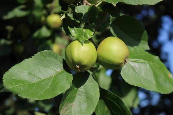 Cosa si può fare e come applicare le mele acerbe?