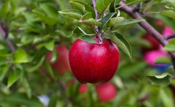 Quando e come piantare le mele: consigli utili e istruzioni passo passo