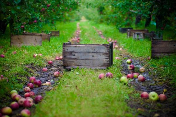 Come e quando raccogliere le mele per lo stoccaggio per l'inverno: consigli