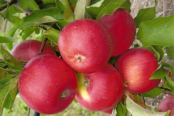 Frutti di Melo Welsey