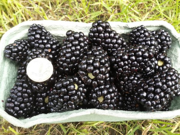 Dimensioni di Blackberry Berries Triple Crown