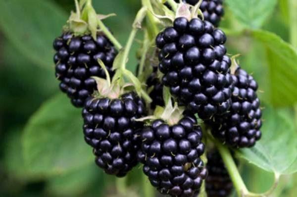 Blackberry Ruben