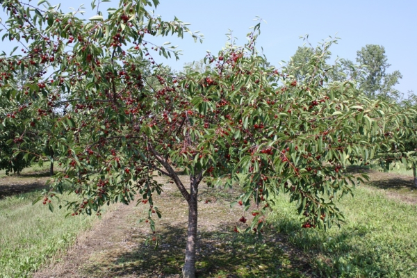 Piantare ciliegie in autunno, prendersi cura degli alberi, consigli utili