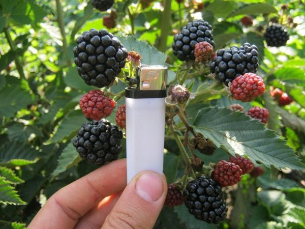 Dimensioni di Blackberry Agaveam