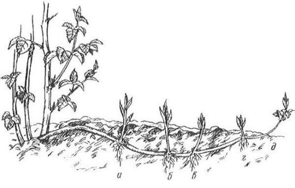 Layout orizzontali di schema di allevamento della mora