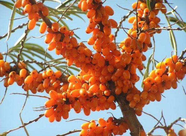 Piantare e coltivare l'olivello spinoso nel paese, curare e potare, trapiantare le piante
