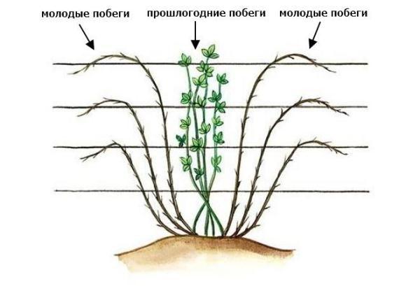 Lo schema di formazione del cespuglio eretto di more