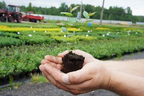 Dai semi di mora può crescere una piantina piena