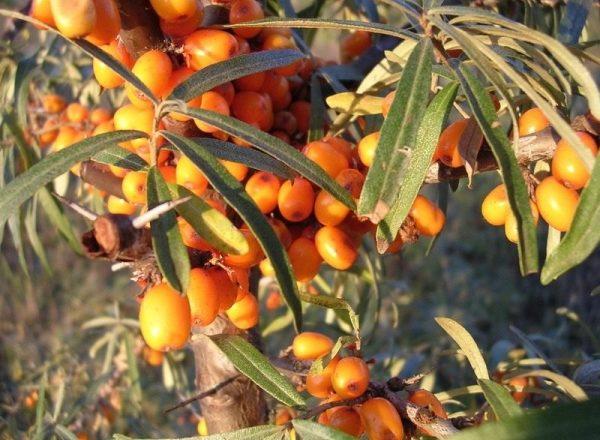 Metodi di riproduzione di olivello spinoso, i loro vantaggi e svantaggi