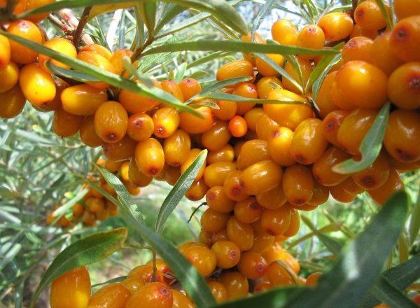 Come conservare le bacche di olivello spinoso: metodi comprovati e preparazione per lo stoccaggio