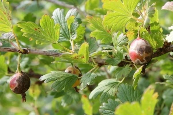 Le principali malattie e parassiti dell'uva spina e il loro controllo, misure di prevenzione, consigli utili
