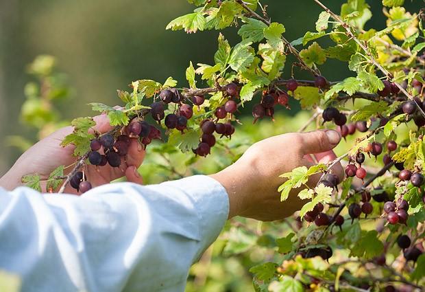 Prendersi cura dell'uva spina in autunno