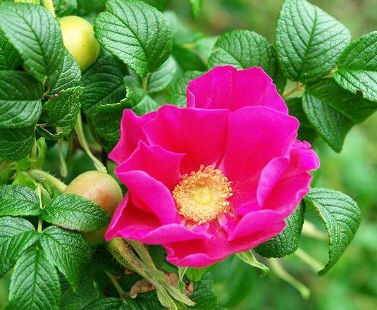 perché una rosa si trasforma in una rosa canina cosa fare