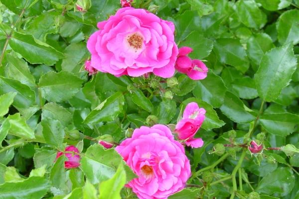 Piantare rose selvatiche, prendersi cura della pianta, metodi di riproduzione
