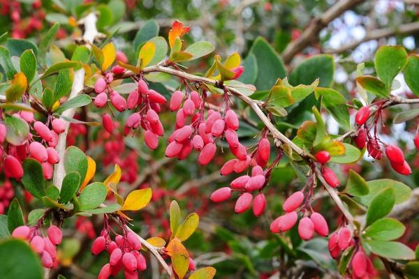 Descrizione botanica del crespino ordinario, proprietà utili, semina e cura