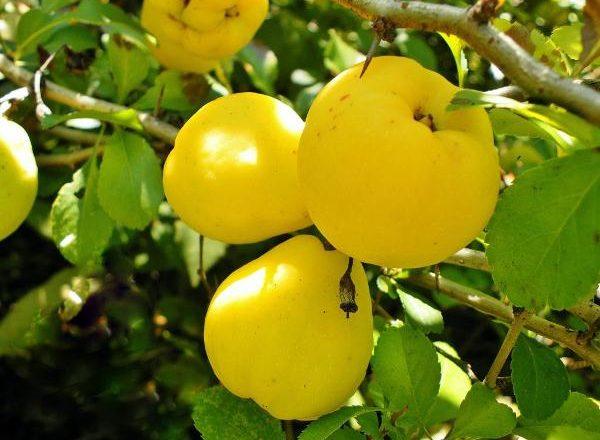Frutti di mele cotogne
