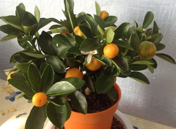 Stanza Mandarin