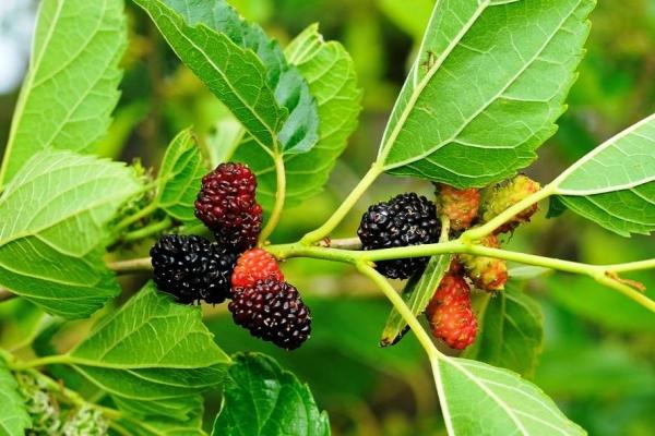 Gelso: caratteristiche e proprietà benefiche di foglie e frutti