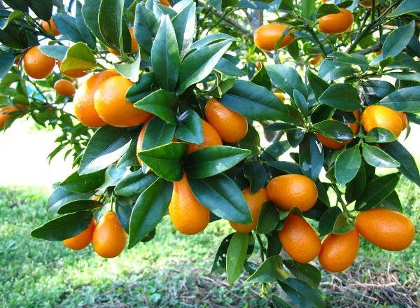 Kumquat di frutta tropicale
