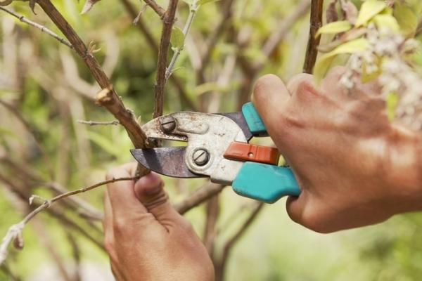 Potatura degli alberi da frutto: perché è necessario e quando viene eseguito?