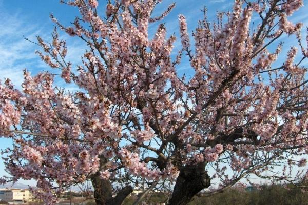 Descrizione dettagliata dell'albero delle mandorle, semina e cura
