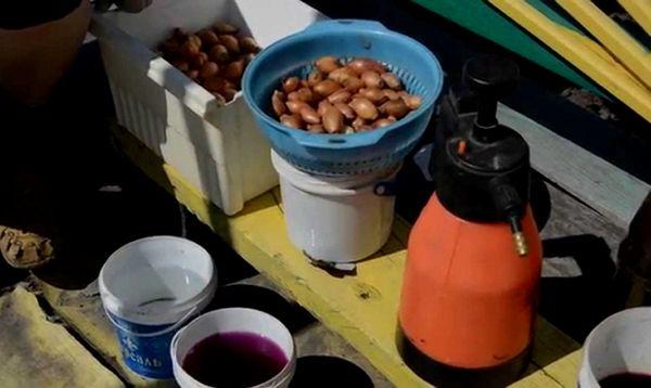 Immergere le cipolle prima di piantare