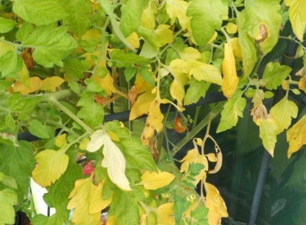 Perché le foglie dei pomodori diventano gialle