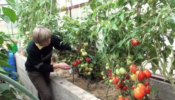 Cura del pomodoro