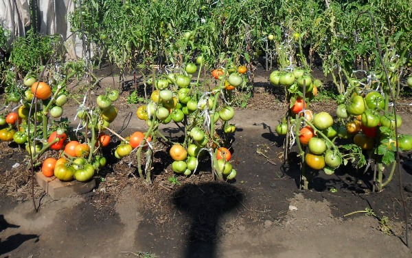 Coltivazione di pomodori secondo il metodo di I. M. Maslov
