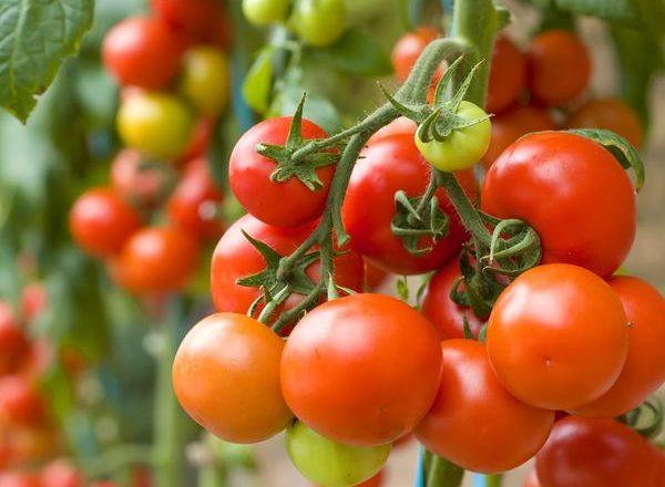 Cosa può essere piantato dopo i pomodori