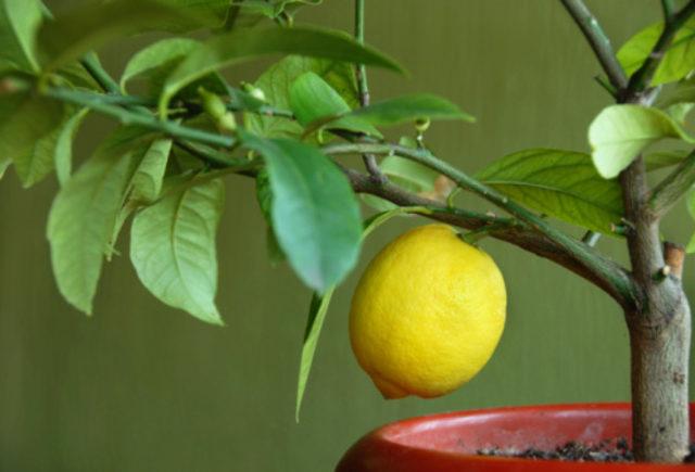 alimentazione di limoni