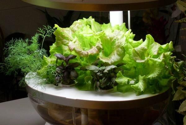 Verdi in crescita in coltura idroponica