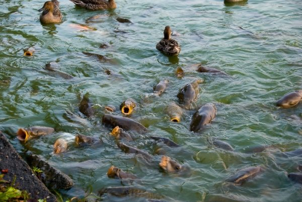 Se le carpe ricevono una dieta equilibrata e nutriente, allora in 9 mesi è abbastanza realistico coltivare un pesce da mezzo chilo.